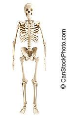 skelet, menneske