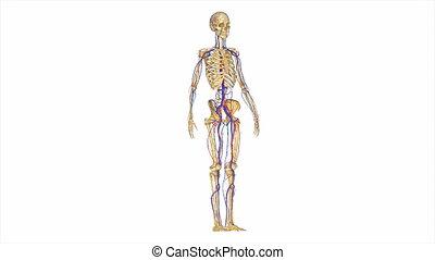 skelet, met, circulatory systeem