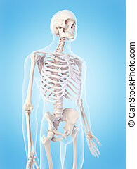 skeletachtig, torso