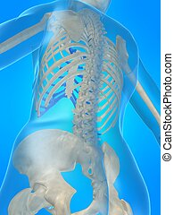 skeletal back - 3d rendered x-ray illustration of a human...