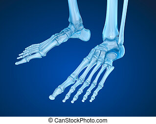 skeletal foot , Medically accurate 3D illustration
