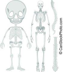 Skeletal system for human being