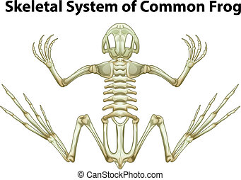 Skeletal system of a common frog - Illustration of a...