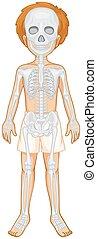 Skeletal system of human boy