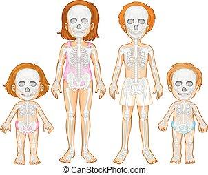Skeletal system of human illustration
