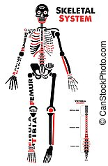Skeletal System Poster. Didactic Board of Anatomy of Human...