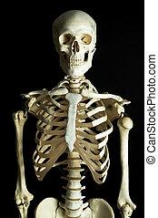 Skeleton 1 - A human skeleton on a black background