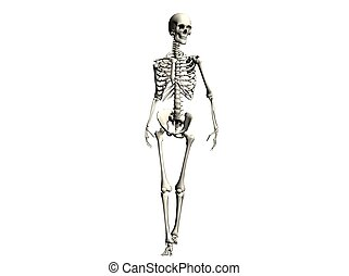 Skeleton - 3D Illustration of a skeleton