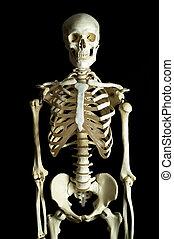 Skeleton 4 - A human skeleton on a black background