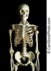 A human skeleton on a black background