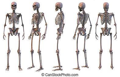 Skeleton 5 views - 3D rendering. Five views of human...