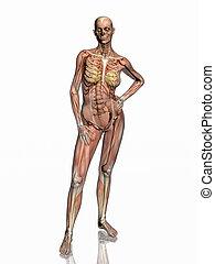 skeleton., anatomía, músculos, transparant