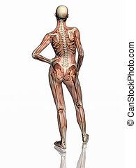 skeleton., anatomi, musker, transparant