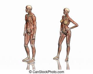 skeleton., anatomia, muscoli, transparant