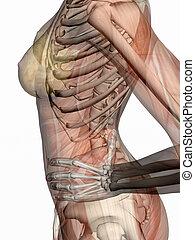 skeleton., anatomia, muscoli, transparnt