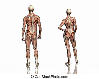 skeleton., anatomie, muscles, transparant