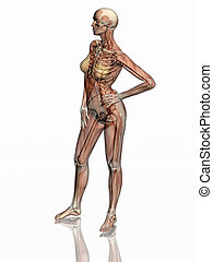 skeleton., anatomie, muscles, transparnt