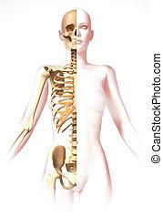 skeleton., anatomie, vrouw lichaam, beeld, look., stylized