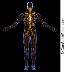 Skeleton and lymphatic system - Human skeleton and lymphatic...