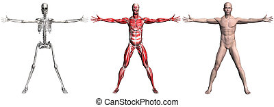 Skeleton and Muscles of a Human Male - Anatomical...