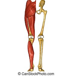 Skeleton and Muscles of Legs