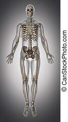 Skeleton and tendon anatomy anterior view