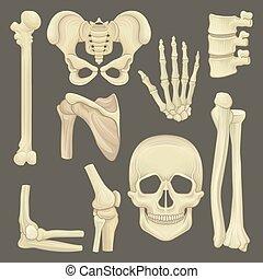 skeleton., apartamento, partes, cranio, lâmina, cinta, mão, pélvico, médico, espinha, vetorial, lumbar, humerus, ombro, livro, joint., joelho humano, anatômico, ou