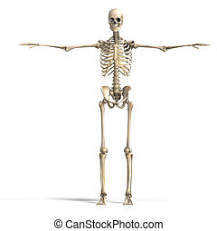 skeleton., correct, coupure, sur, anatomique, rendre, ...