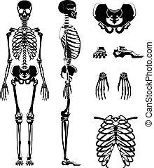 skeleton., différent, silhouette, anatomie, vecteur, humain, os, pictures.