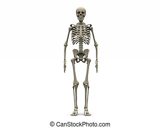 Skeleton - digital render of a human skeleton in frontal ...