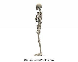 digital render of a human skeleton in side view