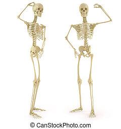 skeleton - human skeleton. isolated on white.