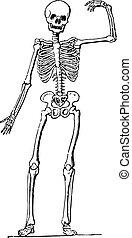 (skeleton), engraving., anatomia, umano, vendemmia
