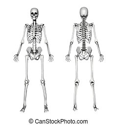 A female skeleton, front and back. This is a 3D render - special shaders were used in the rendering process to create the appearance of a pencil drawing.