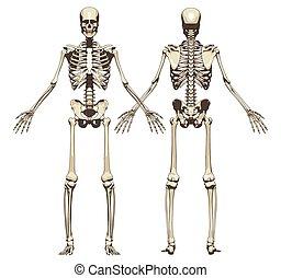 skeleton., front, zurück, menschliche , ansicht