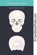 skeleton., huesudo, cráneo, cavidad, apoyos, cabeza, él, formas, brain., cara humana, estructuras, estructura