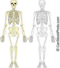 skeleton illustration - A human skeleton