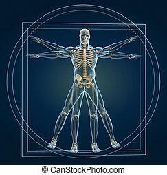 Skeleton in vitruvian - Body and skeleton in vitruvian man -...