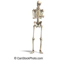 skeleton., korrekt, ausschnitt, aus, anatomisch, übertragung...