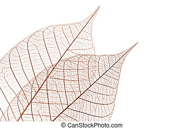 Skeleton leaves - Closeup of dried rubber tree skeleton...