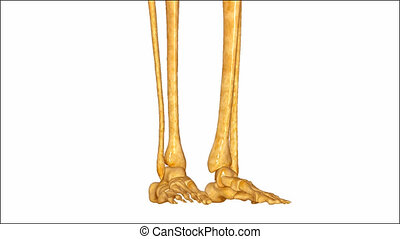 Skeleton legs - The human leg is the entire lower extremity...
