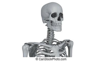 skeleton model - A model of human skeleton isolated on white...