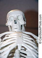 Skeleton Model - Model of a human skeleton showing skull