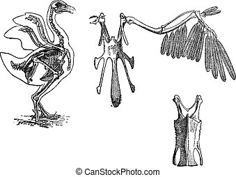 Skeleton of a Chicken, vintage engraving