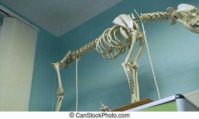 Skeleton of a dog in a vet clinic