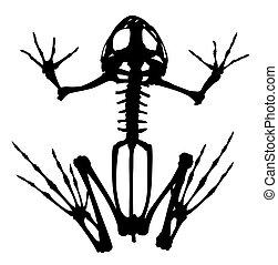 Skeleton of frog.