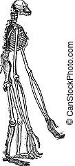Skeleton of Gibbon vintage engraving