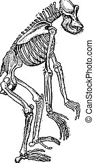 Skeleton of Gorilla vintage engraving - Old engraved...