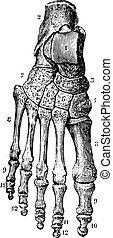 Skeleton of the foot (dorsal), vintage engraving.