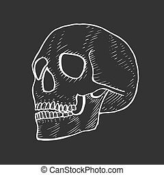 Skeleton of the human head
